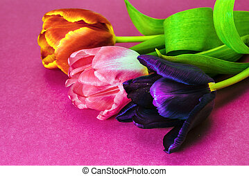 Three tulips of violet, red and pink flowers on a pink background close-up.