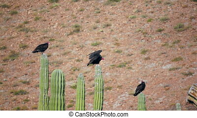 Three Turkey Vultures Stretching - Three turkey vultures...