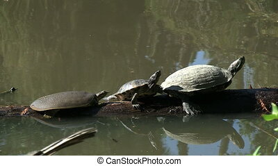 Three Turtles On Log - One Turtle Jumps Into Water