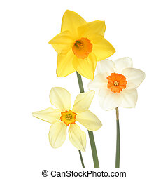 Three variaties of daffodils