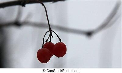 Three viburnum berries