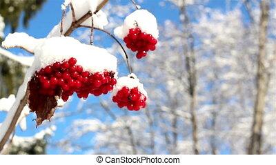Three Viburnum opulus Guelder Rose covered with snow - Three...