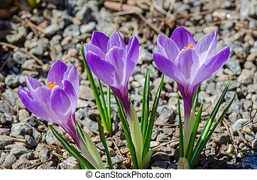 Three violet crocuses blooming - Spring is coming ! Picture...
