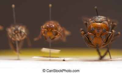 Three Wasps on Display - Steady, extreme close up shot of...