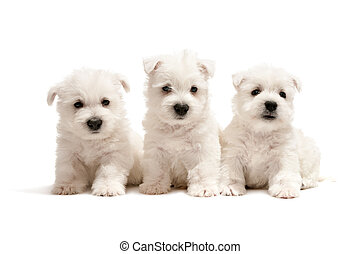 Three west highland white terrier puppies are sitting together; isolated on white background
