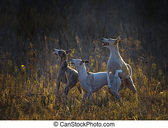 three whippet dogs stay