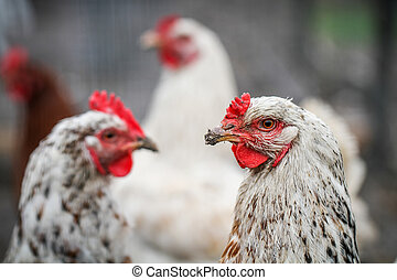 three white chickens on the yard