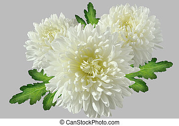 Three white chrysanthemums bouquet with green leaves close up