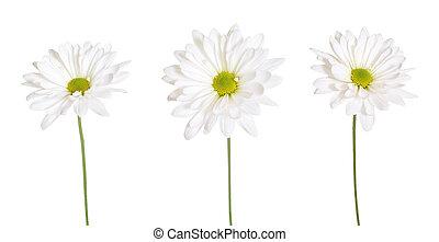three white daisy flowers isolated on white background