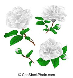 Three white flowers Camellia Japonica  with buds vector.eps
