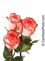 Three white-pink roses
