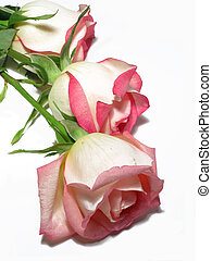 Three White Roses - Three white roses, edged in pink on...