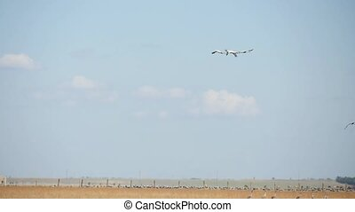 Three white swans are flying over Taurida steppe in...