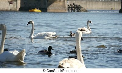 Three white swans swimming not far from the Charles bridge in slow motion
