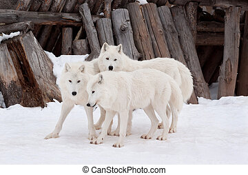 Three wild alaskan tundra wolves are playing on white snow. Canis lupus arctos. Polar wolf or white wolf.