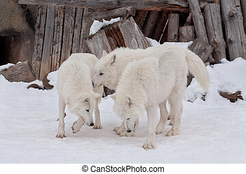 Three wild alaskan tundra wolves are playing on white snow. Polar wolf or white wolf.