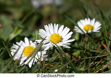 Three wild chamomile flowers on a field