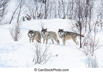 Three Wolves in the Snow - Wolf pack in a norwegian winter...