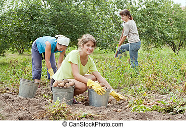 women harvesting potatoes - three women harvesting potatoes...