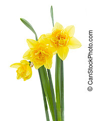 three yellow daffodil flowers