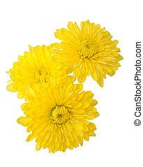 three yellow daisy isolated on white background