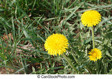 Three yellow dandelion flower