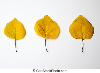 three yellow dried apricot leaves on a white background