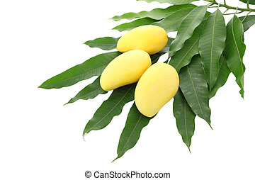 Three yellow mango and pile dirty leaf isolated on white background.