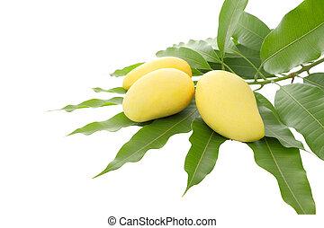 Three yellow mango leaf on white background.