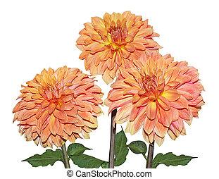 Three Yellow Orange Dahlia