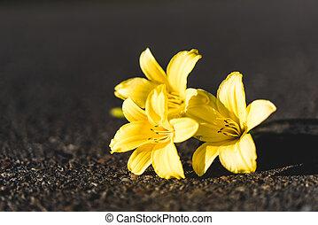 Three yellow Siberian lilies