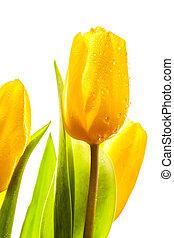 Three yellow spring tulips