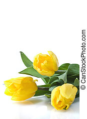 three yellow tulips on white