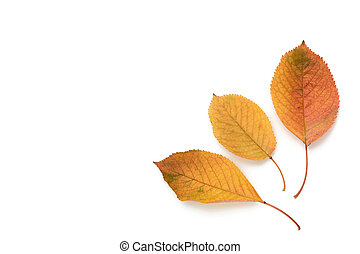 three yellowed cherry leaves isolated on a white background