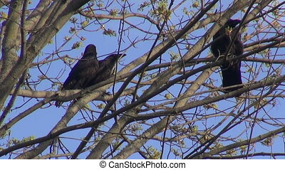 Three young black common ravens in the tree