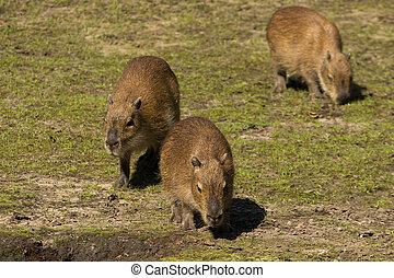 Three young capybaras