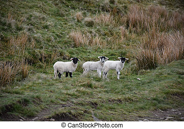 Three Young Lambs Standing Together on Alert in a Field