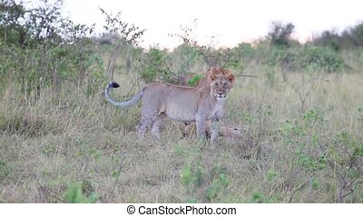 Three young lion on the savannah at
