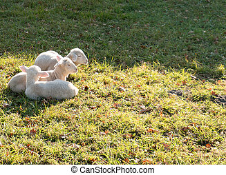 three young white lambs cuddling and laying next to each other on a grassy field