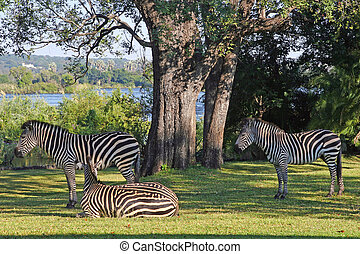 Three Zebra - A trio of zebra relaxing in the grounds of the...