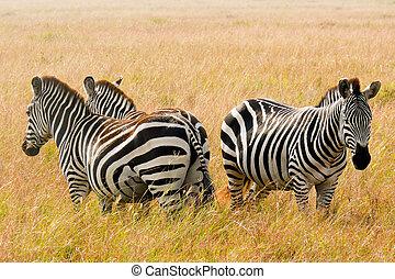 Three zebras stand guard in the Maasai Mara National Game...