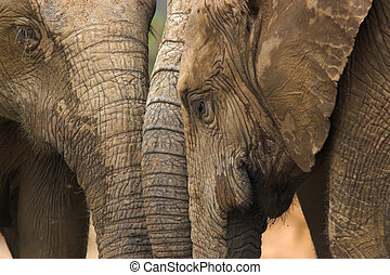 Threesome - Three elephants with their trunks together ...