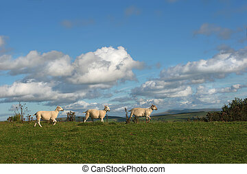 Threesome - Three sheep walking together in a line in rural...