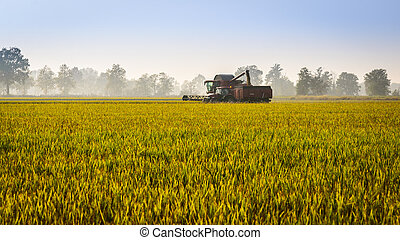 Every year in September takes place the rice harvest in Lombardy