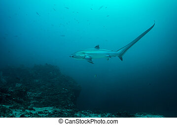 Thresher shark in profile, showing extremely long tail -...