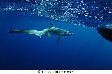 thresher shark swimming in ocean underwater near boat