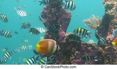 Thriving coral reef alive with marine life and shoals of fish, Bali