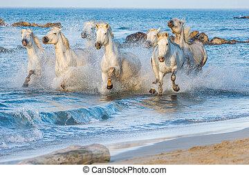 thro, blanco, camargue, corriente, caballos