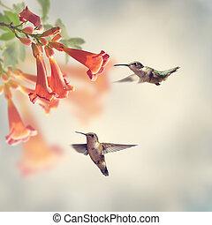 throated, colibris, rubis