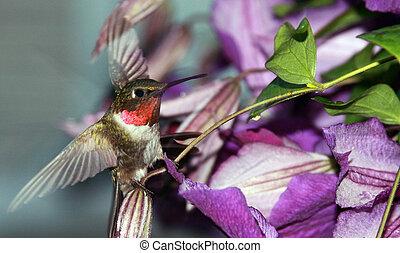 throated, rubí, colibrí